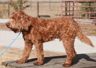 Red hypo-allergenic labradoodle