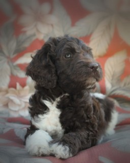 Labradoodle Puppy Price