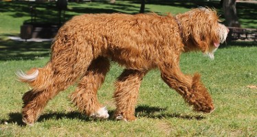 red F1b labradoodle