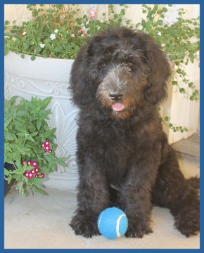 Labradoodle Breeder in California