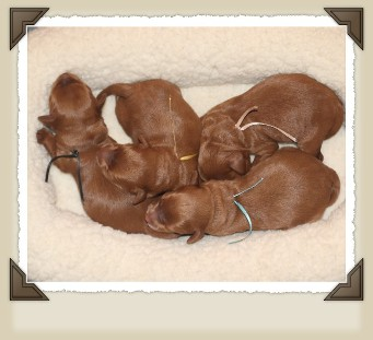 red Australian labradoodle pups