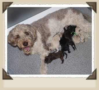 labradoodle mom and pups